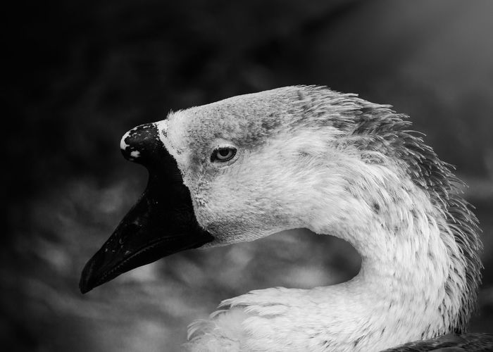Eyes of the anser cygnoides bird Animals In The Wild EyeEmNewHere The Week On EyeEm Animal Head  Animal Themes Animal Wildlife Animals In The Wild Beak Bird Birds Black And White Blackandwhite Close-up Day Focus On Foreground Goose Greylag Goose Nature No People One Animal Outdoors Plumage Side View Swan Water Water Bird Wildlife