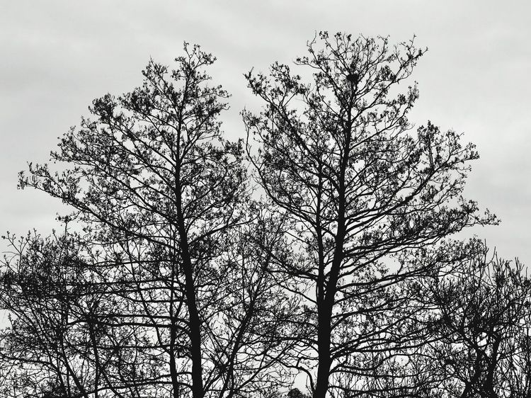 Tree Nature Low Angle View Growth Sky Branch Beauty In Nature No People Tranquility Outdoors Day Scenics Treetop Blackandwhite Black & White Nature Clouds And Sky Cloud Low Angle View Cloud - Sky