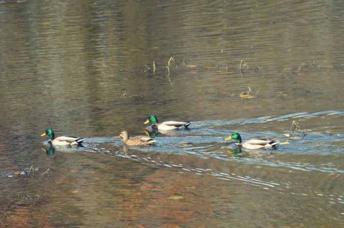 "Get your ""ducks"" in a row Water River Day Outdoors Nature Beautifully Organized No People Tranquility Geese Geese Family"