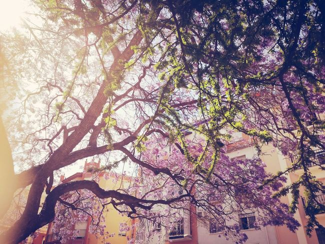 En primavera siempre vuelven... LAS JACARANDAS Lightscollection Tree Beauty In Nature Flower Tesis99 Jacarandas En Flor Jacaranda Jacaranda Leaves Microhistoriastesis99 Springtime Sunlight Jacaranda Tree Jacarandás Light Jacaranda Mimosifolia Jacaranda Trees Tree Flores Day Outdoors Purple árbol Ombre Camino Paint The Town Yellow Flowers Collection Tesis99 The Great Outdoors - 2018 EyeEm Awards