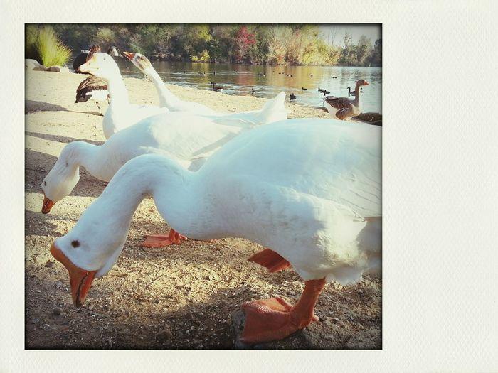 quack quack bitch
