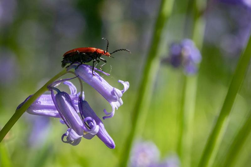 Red headed cardinal beetle also known as pyrochroa serraticornis resting on native bluebell flower