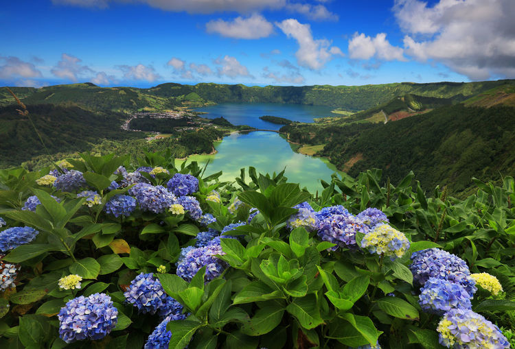 Purple Hydrangeas Blooming Against Lake At Azores