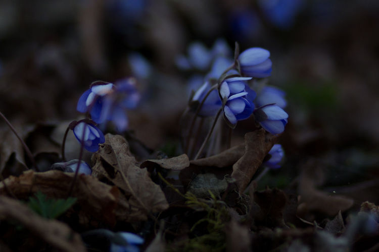 Blue anemones in shadow after sunset. Flower Flowering Plant Plant Fragility Beauty In Nature Vulnerability  Freshness Selective Focus Purple Petal Growth Close-up Nature Land Field No People Flower Head Blue Inflorescence Outdoors Blue Anemones Anemone Flower Early Spring Early Spring Flowers EyeEm Nature Lover Brown Leaves Shadow Swedish Nature Sweden Nature Blåsippor Flower Photography Canon Eos 650D 85mm 1.8 Closed Flower Head