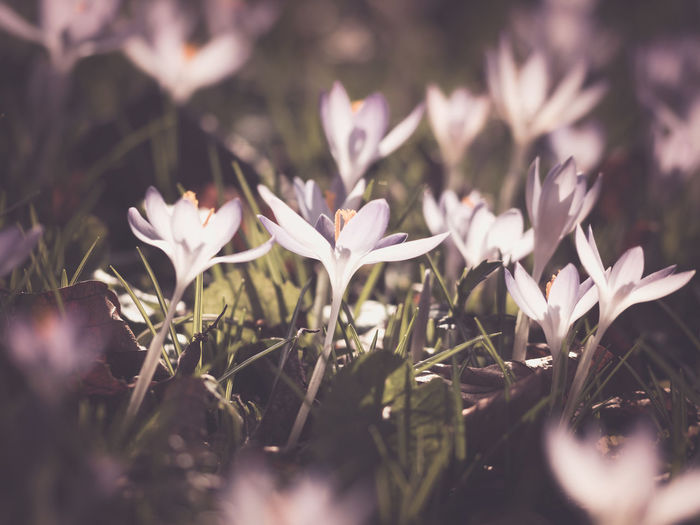 Flowering Plant Flower Plant Freshness Vulnerability  Beauty In Nature Fragility Growth Petal Selective Focus Close-up Nature White Color Flower Head Inflorescence No People Day Land Field Outdoors Crocus Purple