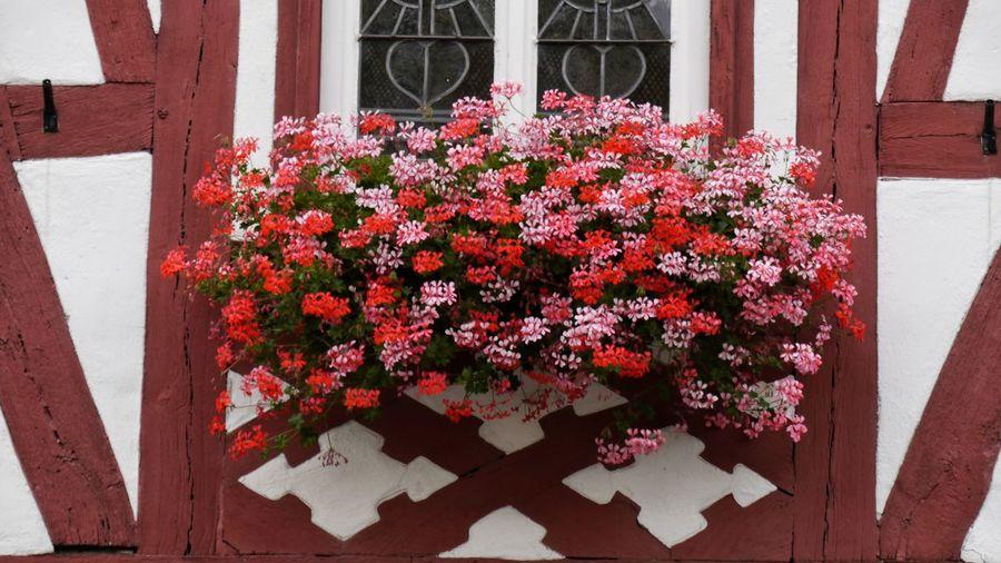 Close-up of geranium flowering plant on building