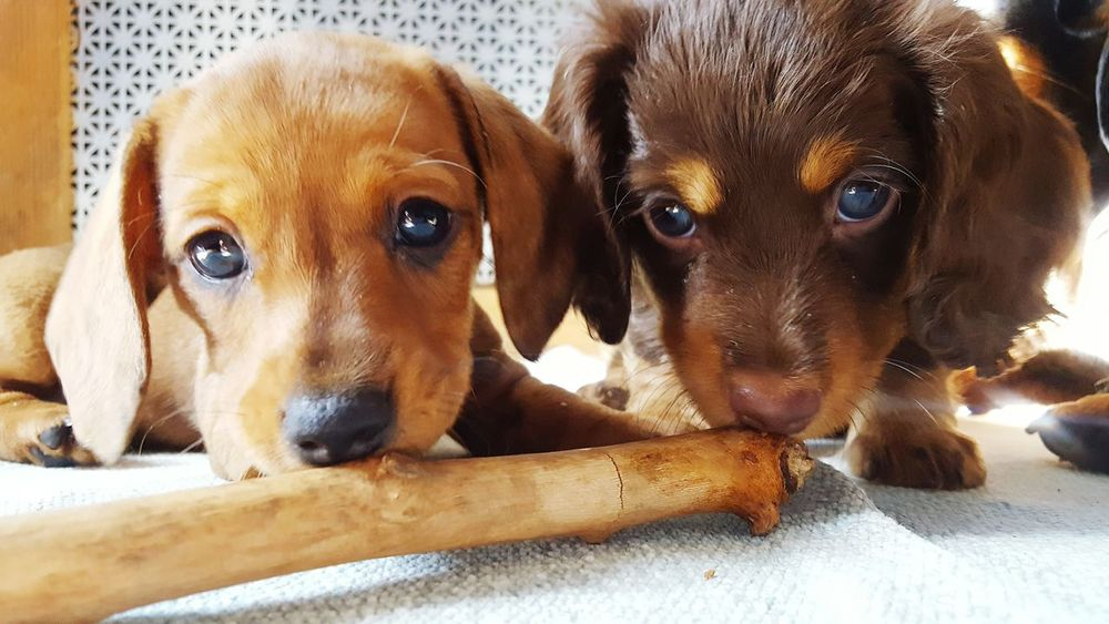 Dog Looking At Camera Pets Portrait Indoors  Togetherness No People Puppyeyes Puppy Love Dachshunds Dachboden