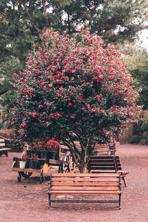 ASIA Beautiful Beautiful Nature Camellia Christmas JEJU ISLAND  Jeju Korea Weekend Background Backgrounds Beauty In Nature Camellia Flower Christmas Tree Day Flower Growth Landscape Nature No People Outdoors Park Red Tree EyeEm Ready   EyeEmNewHere