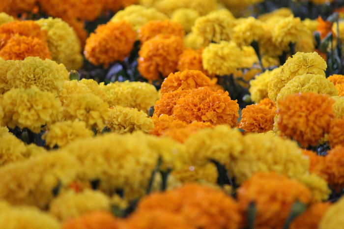 Flower Yellow Color Orange Color Vibrant Color Multi Colored Beauty In Nature Freshness No People Mexico