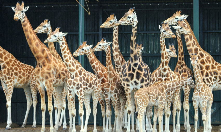 Group Of Giraffes Looking Away