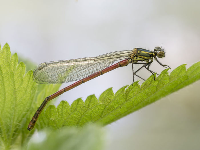 Adonislibelle Bachlauf Gewässer Macro Photography Pyrrhosoma Nymphula Animal Animal Themes Animal Wildlife Animal Wing Animals In The Wild Close-up Damselfly Freigestellt Insect Insects  Leaf Nature No People One Animal Outdoors Schlanklibelle Teich