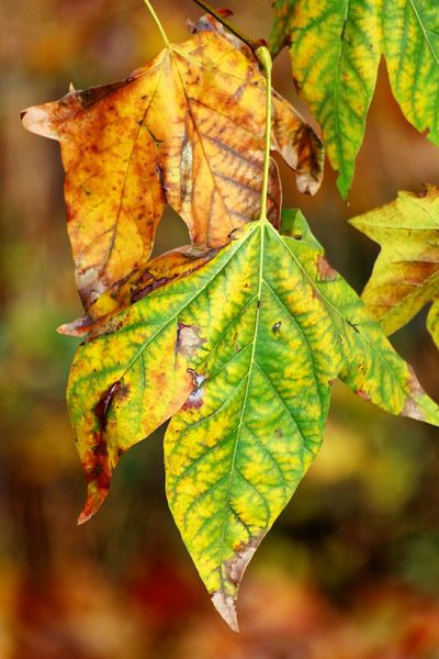 Colours Of Autum Colours Of Nature Colours Of Autumn Leaf Autumn Nature Close-up Maple Leaf Leaf Vein Vibrant Color Maple Beauty In Nature Yellow Tree Nature Nature_collection Beauty In Nature Autmn Colors London In Colours Paint The Town Yellow Paint The Town Yellow
