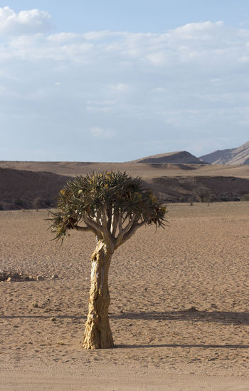 Namibia Namibia Landscape NamibiaPhotography Arid Climate Beauty In Nature Day Desert Dichotoma Do Aloés Growth Keetmanshoop Landscape Lone Namibia Tree Nature No People Outdoors Physical Geography Sand Sand Dune Scenics Sky Tranquil Scene Tranquility Tree árvore Tremer