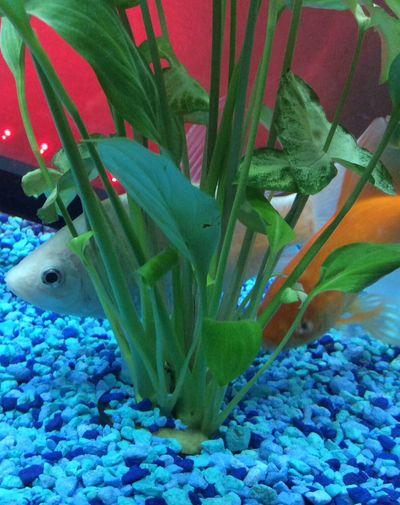 Fish Koi Mixes Princess Peach Caeser White Gold Golden Pearly Fish Mom Aquarium Aquatic Aquatic Life