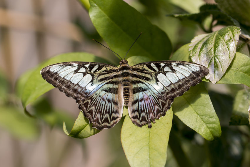 clipper butterfly Clipper Parthenos Sylvia Butterfly Butterfly Collection Clipper Butterfly