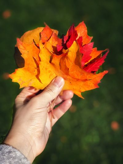 Seasonal Seasons Change Red Leaves, Autume, Season Change One Woman Only Maple Leaves Maple Leaf Autumn Collection Autumn Collection Autumn Autumn Leaves Human Hand Hand Human Body Part Holding One Person Autumn Change Plant Part Leaf Personal Perspective Close-up Nature Real People Orange Color Finger Focus On Foreground Human Finger Lifestyles Body Part