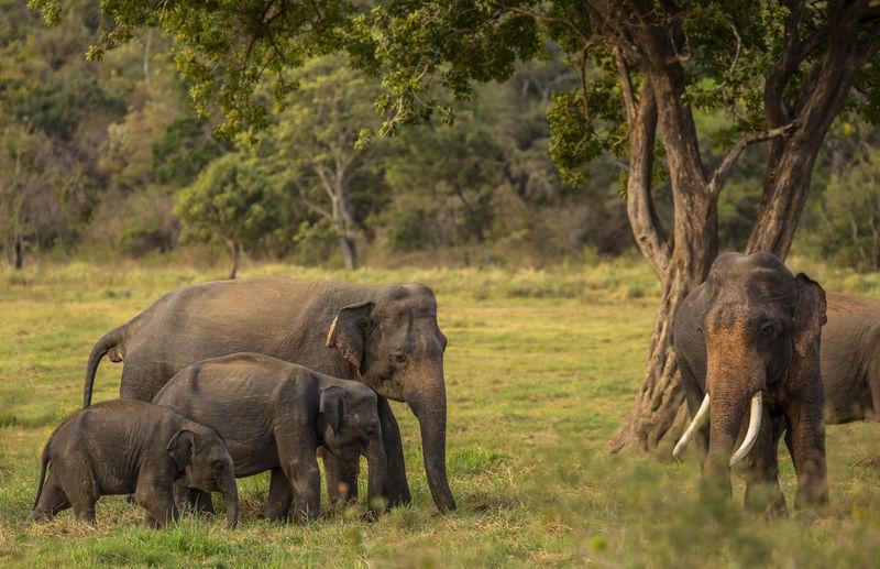 Elephant Family Walking On Field