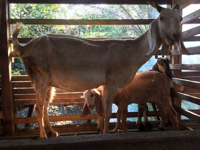 The Goat. Mother & Son Mother & Kids Livestock Live Stock Lifestock Life Stock Malaysia Village Goats Healty New Born Family Bonding Time Goat Milk