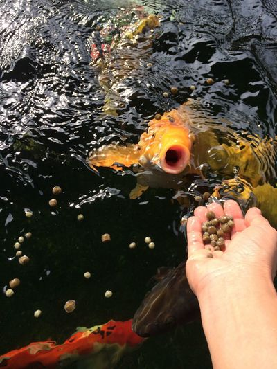 Woop woop... very energetic eating style... my luvly carp... Human Hand Water Human Body Part One Person Real People Holding Bubble Day Close-up Outdoors People Nofilter Naturallight Naturalshot Koi Pond