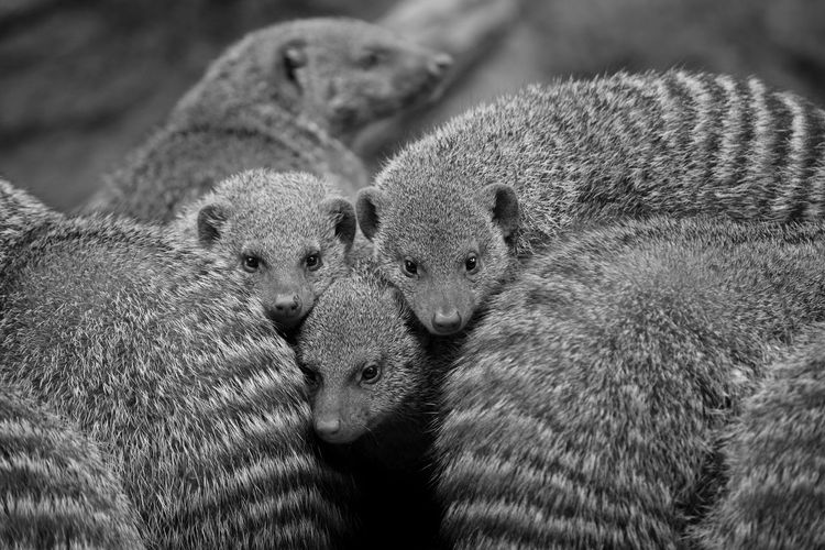 Zoo Animal Themes Banded Mongoose Blackandwhite Close-up Day Faces Group Mammal Mongoose Nature No People Outdoors Striped Togetherness Young Animal The Traveler - 2018 EyeEm Awards