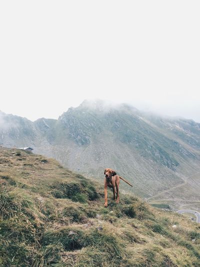 Hiking Mountain Dog Dog In Natural Environment Dog In Nature Outdoor Day Landscape Brown Dog Dog Food Canine Green Scenery Happy Dog Sunny Day High Altitude Background Hut Playful Dog Vizsla Nature And Dog Adventure