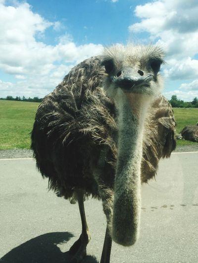 Staring Contest Animals In The Wild Ostrich Staring Bird Zoo Animals  Birdsupclose EyeEmNewHere EyeEm Selects EyeEm Selects