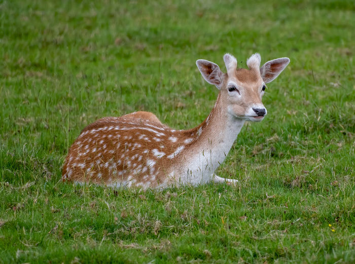 Animal British Brown Buck Cute Dama Deer Environment Fallow Female Forest Grass Green Mammal Natural Nature Nobody Outdoor Outdoors Portrait Resting White Wild Wildlife Wood WoodLand Young