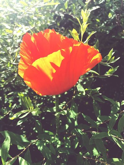 Poppy Plant Petal Growth Red Flowering Plant Flower Leaf Close-up Fragility Flower Head Orange Color Outdoors No People Day