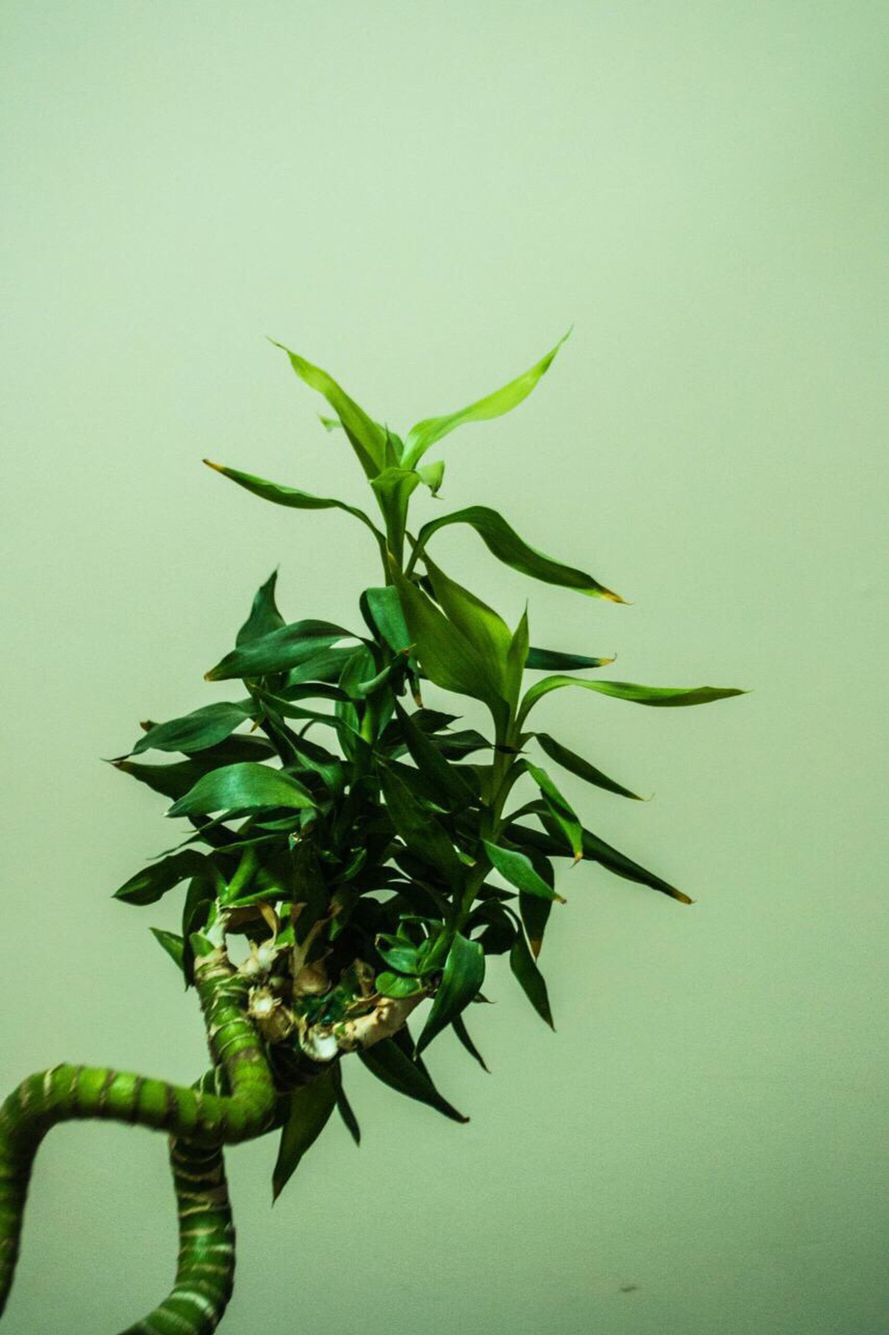 leaf, growth, plant, close-up, nature, green color, no people, branch, freshness, olive tree, beauty in nature, indoors, day