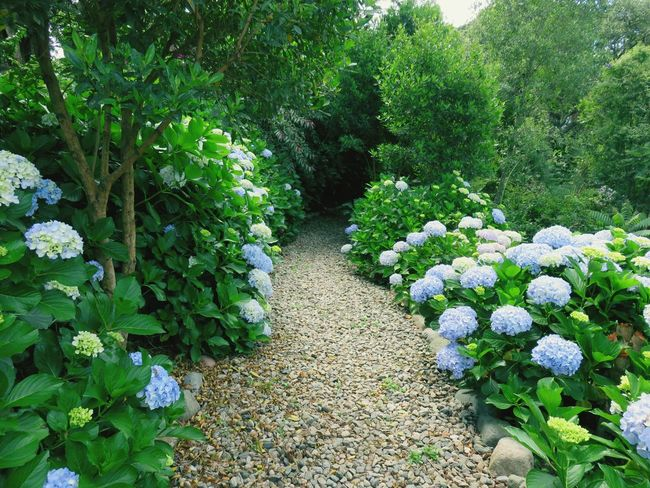 Follow the path! Growth Flower Plant Nature Beauty In Nature Green Color Freshness Tree No People Formal Garden Day Fragility Outdoors Flower Head Hydrangea EyeEm Nature Lover EyeEm Flower Hortensia Hortense The Week On EyeEem Path To Spring Path Peaceful Getaway  Brazil