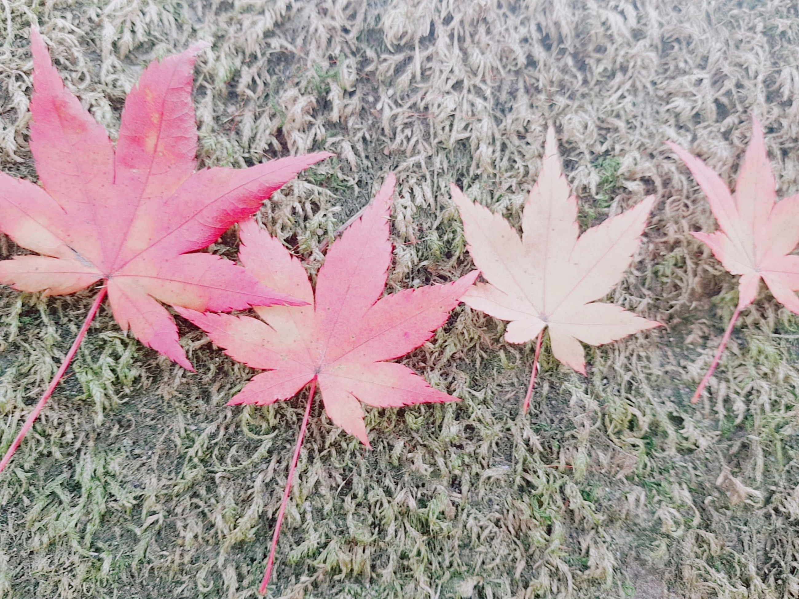leaf, plant, plant part, close-up, beauty in nature, growth, nature, day, no people, autumn, change, high angle view, outdoors, leaves, vulnerability, land, fragility, maple leaf, field, pink color, natural condition