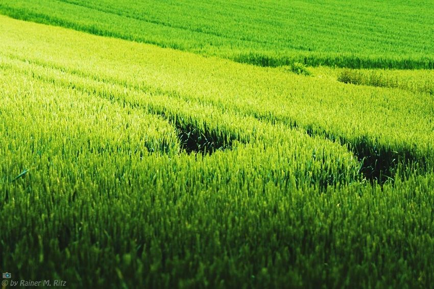 The curve Landscape Rural Landscape Grass Grain Tracks Tractor Green Green Green!  Minimalism Surface Structures & Lines Structure And Nature Fine Art Photography