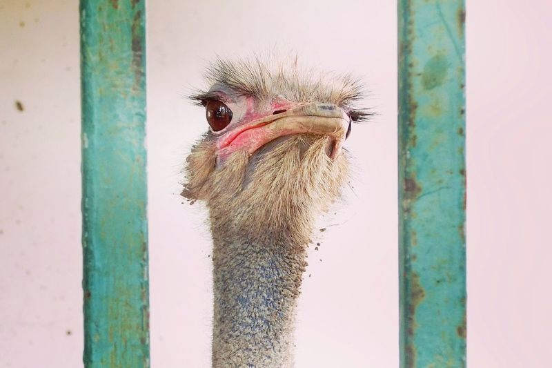 Sad ostrich! Sad Life Prison Cage Cagedbirds Zoo Animals  Animal Photography Animal Portrait Caught Animals Gefangene Tiere Hinter Gitter EyeEm Selects Bird One Animal Animal Themes Day No People Beak Ostrich Focus On Foreground Outdoors Animals In The Wild Nature Adventures In The City