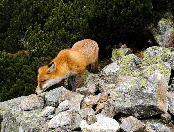 fox Fox Mountain #Nature  #animal Hedgehog Sunlight Animal Themes