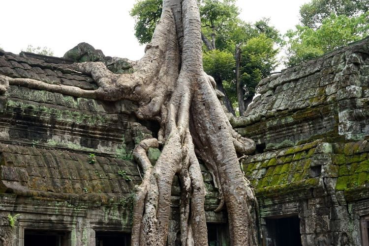 Wat Tree Jungle Temple Tree Tree Trunk Low Angle View No People Growth Day Root Nature Outdoors Architecture An Eye For Travel
