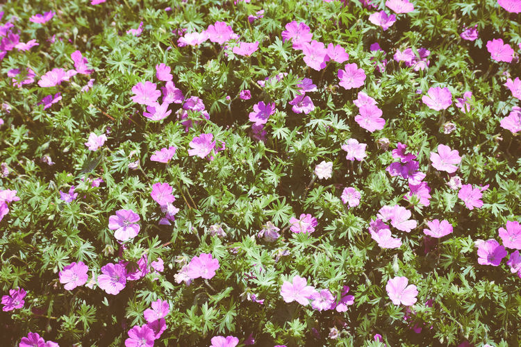 Abundance Backgrounds Beauty In Nature Flowering Bushes Flowers Nature Purple Flowers