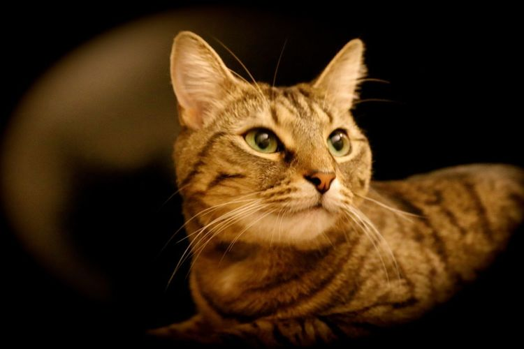 Dimitri Tiger Tiger Burning Bright Animal Themes Bengal Tiger Cat Black Background Close-up Day Domestic Animals Domestic Cat Feline Indoors  Looking At Camera Majestic Mammal No People One Animal Pets Portrait Sitting Whisker
