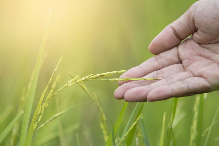 Rice Harvest Sky Field Agriculture Farm Grow Hand Plantation Paddy Nature Green Sake Food Plant Ripe Grass Culture Tropical Growth ASIA Rural Clouds Meadow Hill Farmer Thailand Ear