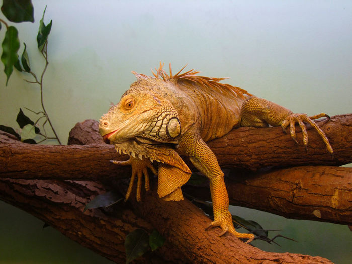 Latvia Animal Themes Animal Wildlife Animals In The Wild Bearded Dragon Chameleon Close-up Day Iguana Lizard Nature No People One Animal Outdoors Reptile Zoo