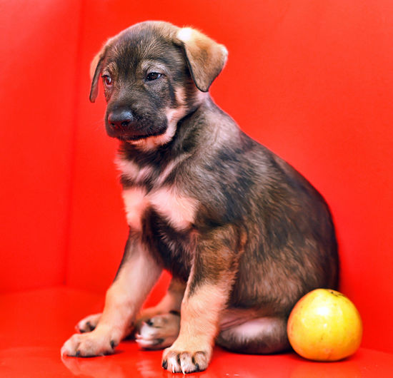 Portrait of puppy sitting on red background