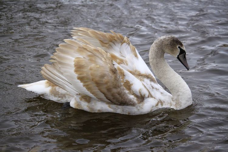 Swan floating on lake