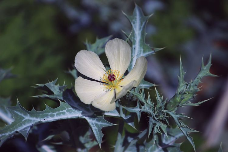 Mexican Poppy Argemone Mexicana Flower Yellow Thorny Spikes Leaves Green Bloom Nature's Diversities