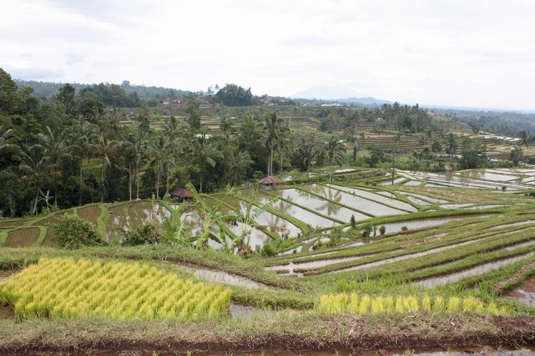 Jatiluwih, Rice Terraces in Bali Reisterrassen in Bali Agriculture Beautiful Bali Beauty In Nature Cultivated Land High Angle View Landscape Rice Paddy Rural Scene Scenics Terraced Field Travel Destinations UNESCO Weltkulturerbe World Heritage Site By UNESCO Weltkulturerbe