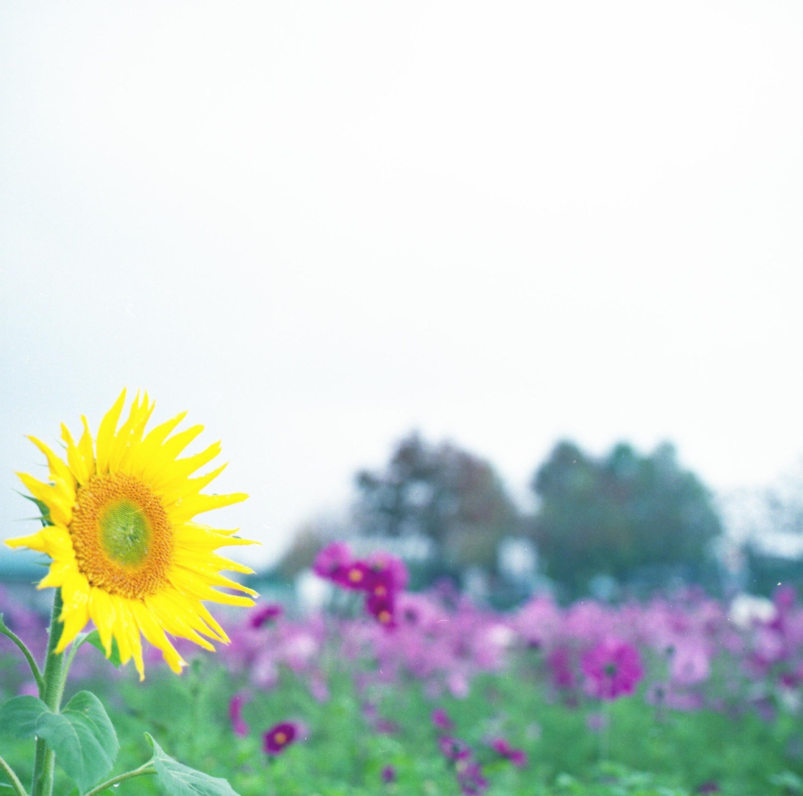 flower, yellow, fragility, freshness, petal, flower head, growth, beauty in nature, blooming, plant, nature, clear sky, sunflower, in bloom, copy space, close-up, focus on foreground, outdoors, field, pollen