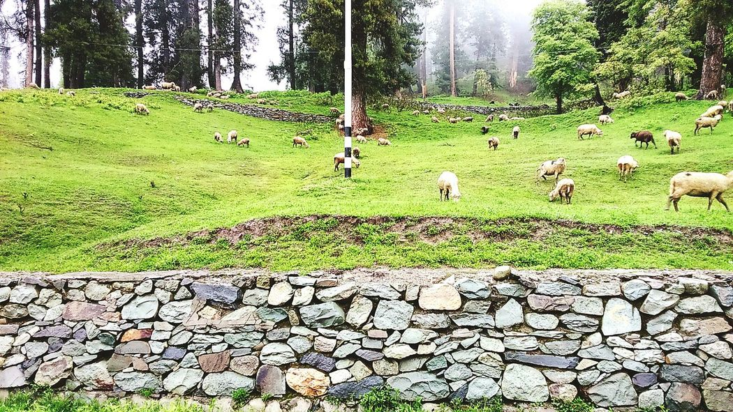 Ovine diaries. Nature Pines Scenic Relaxing Colorsplash Greenery Northernindia