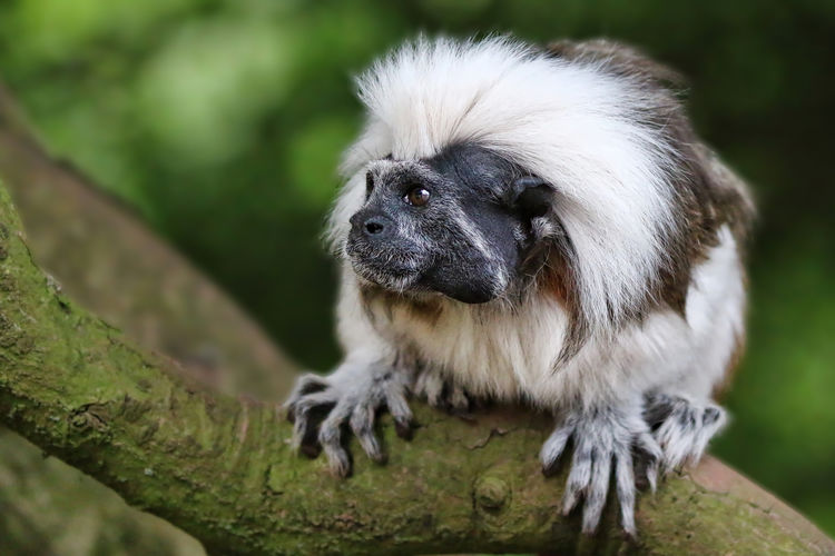 Cotton Top Tamarin Animal Body Part Animal Hair Animal Head  Animal Themes Black Color Close-up Day Focus On Foreground Grass Green Color Mammal Nature No People Outdoors Portrait Selective Focus
