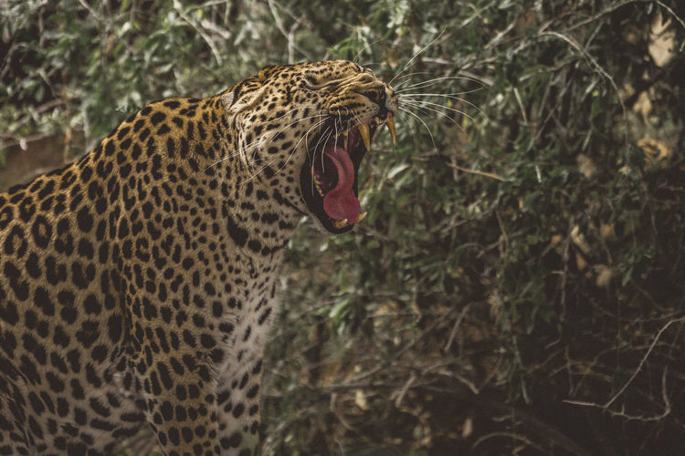 Animal Themes Animal Wildlife Animals In The Wild Close-up Day Leopard Mammal Mouth Open Nature No People One Animal Outdoors Roaring Safari Animals Yawning