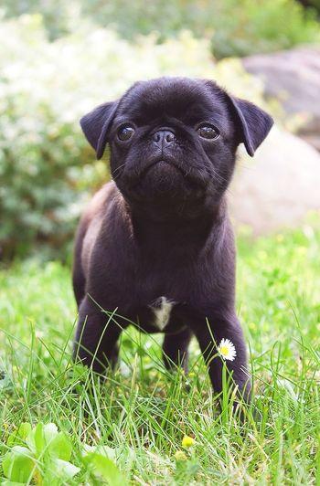 Pets Corner Pets Cute Pets Dog Doggy Pug Black Meadow Grass Dogs