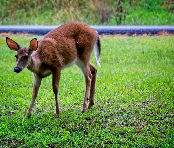 Pretty Deer Deer Animal Animal Themes Animal Wildlife Animals In The Wild Day Focus On Foreground Full Length Grass Green Color Land Mammal Nature No People One Animal Outdoors Side View Standing
