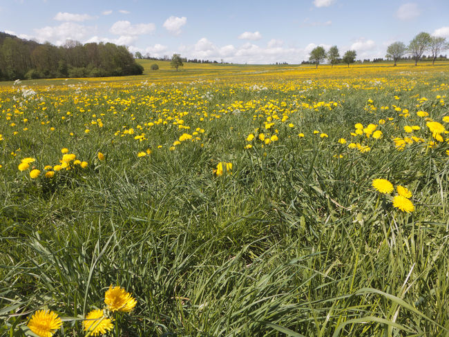 Spring on the Swabian Alb in the south of Germany. Large meadows full of flowering dandelions. A sea in yellow. Albsteig Hiking Pasture Agriculture Beauty In Nature Dandelion Environment Field Flower Flower Head Flowering Plant Growth Hiking Trail Land Landscape Meadow Nature No People Plant Rural Scene Scenics - Nature Schwäbische Alb Sky Springtime Yellow